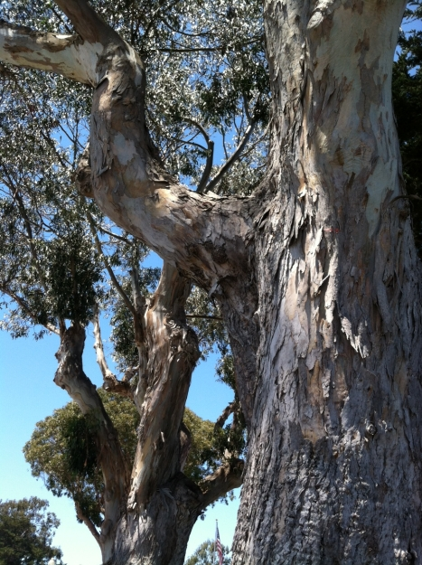 Eucalyptus Tree,  Pacific Grove, CA
