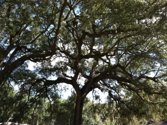Florida live oak