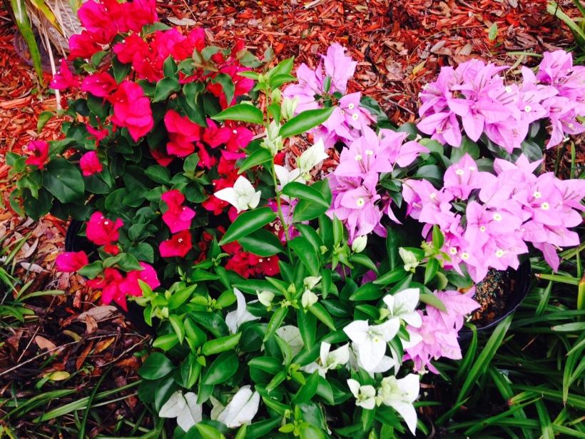 Bougainvillea in my Garden