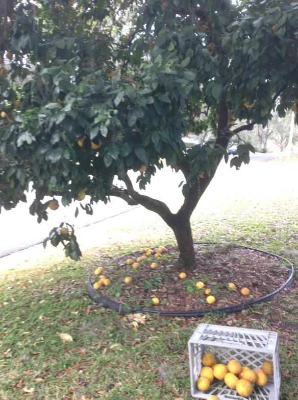 Grapefruit Harvest in February