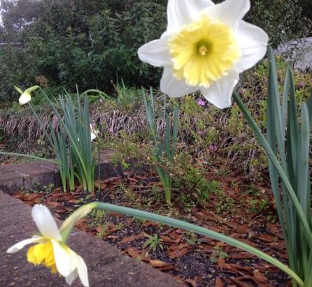 daffodilREAL2