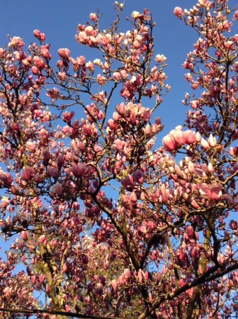 Tulip magnolia tree in our neighborhood just about to bloom in Florida, early February