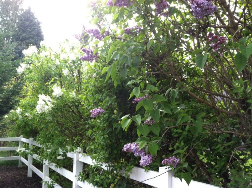 Lilacs along McCardy Road, Bethel Methodist Church, Ridgefield, WA
