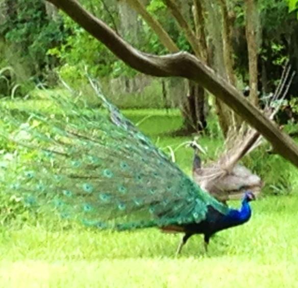 HalfPpeacock