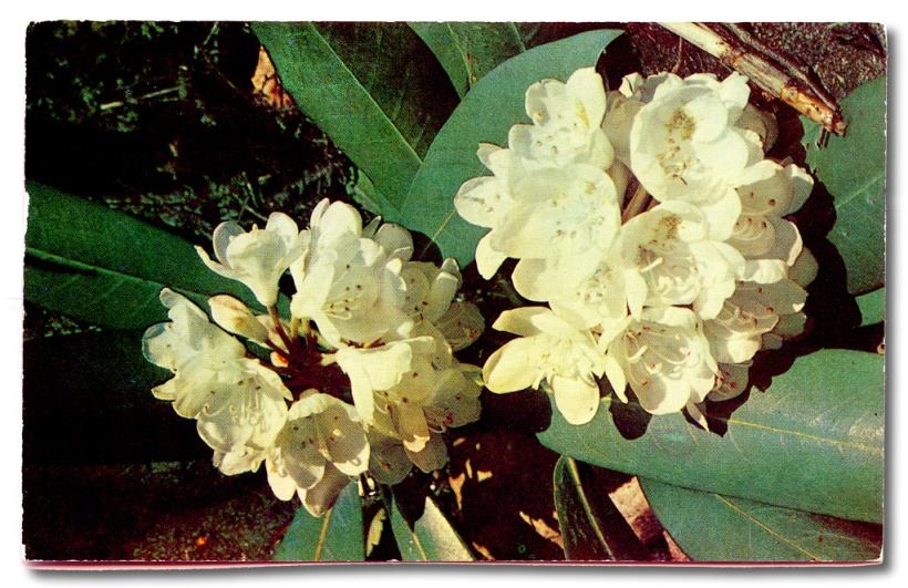 Postcard with rhododendron sent from Laurelville Mennonite Camp