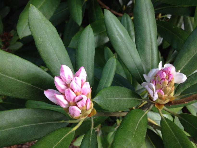 Rhododendron, blooms tight in the bud