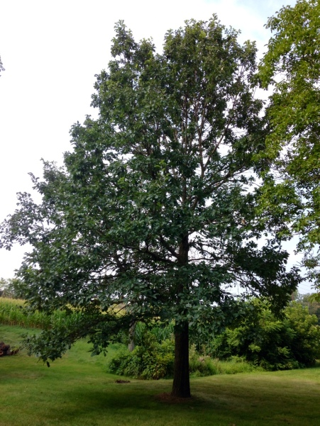 Thirty-five-year-old oak tree in Grandma Longenecker's back yard 1980 - 2015