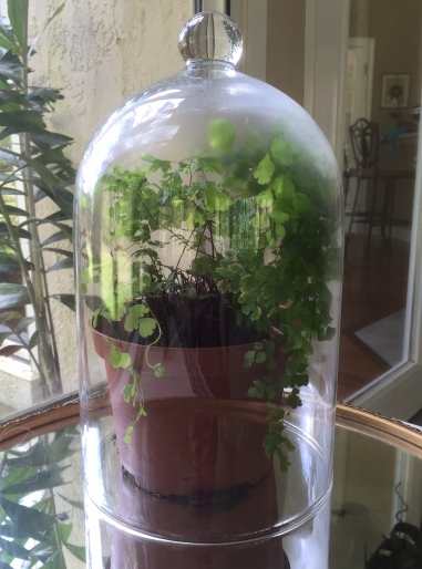Crista's maidenhair fern under a cloche